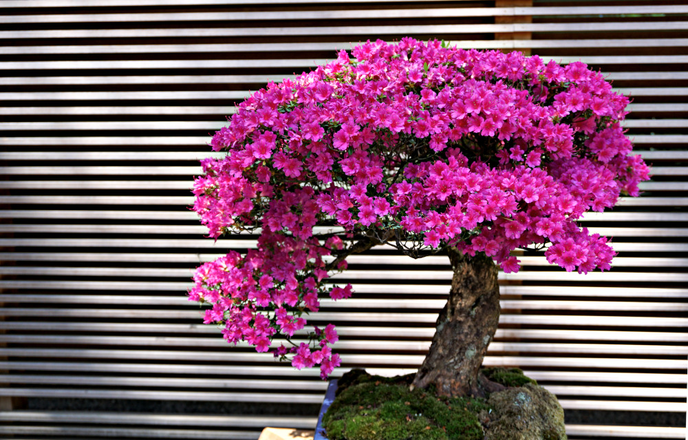 The Complete Guide to Portland Gardens | Portland Japanese Garden Bonsai Terrace
