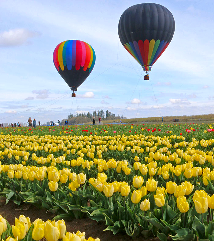 Hot air balloons over the Wooden Shoe Tulip Farm