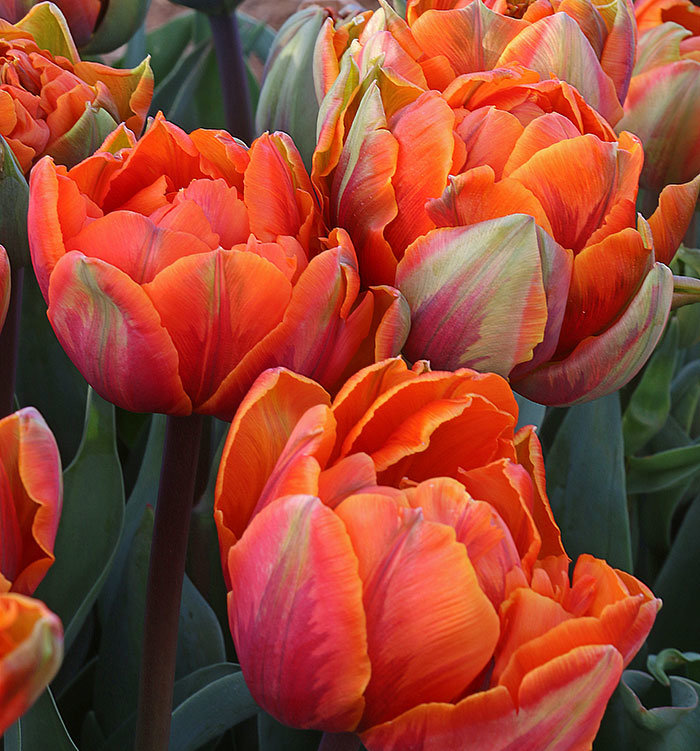 The Wooden Shoe Tulip Festival flowers for sale