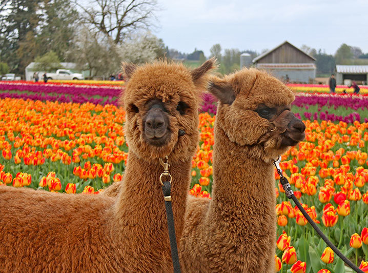Alpaca at the Wooden Shoe Tulip Festival