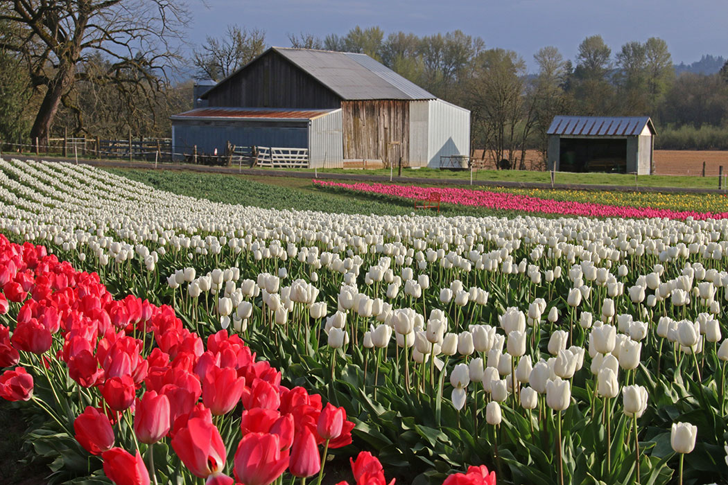 Tips for Visiting the Wooden Shoe Tulip Festival | Oregon tulip farm