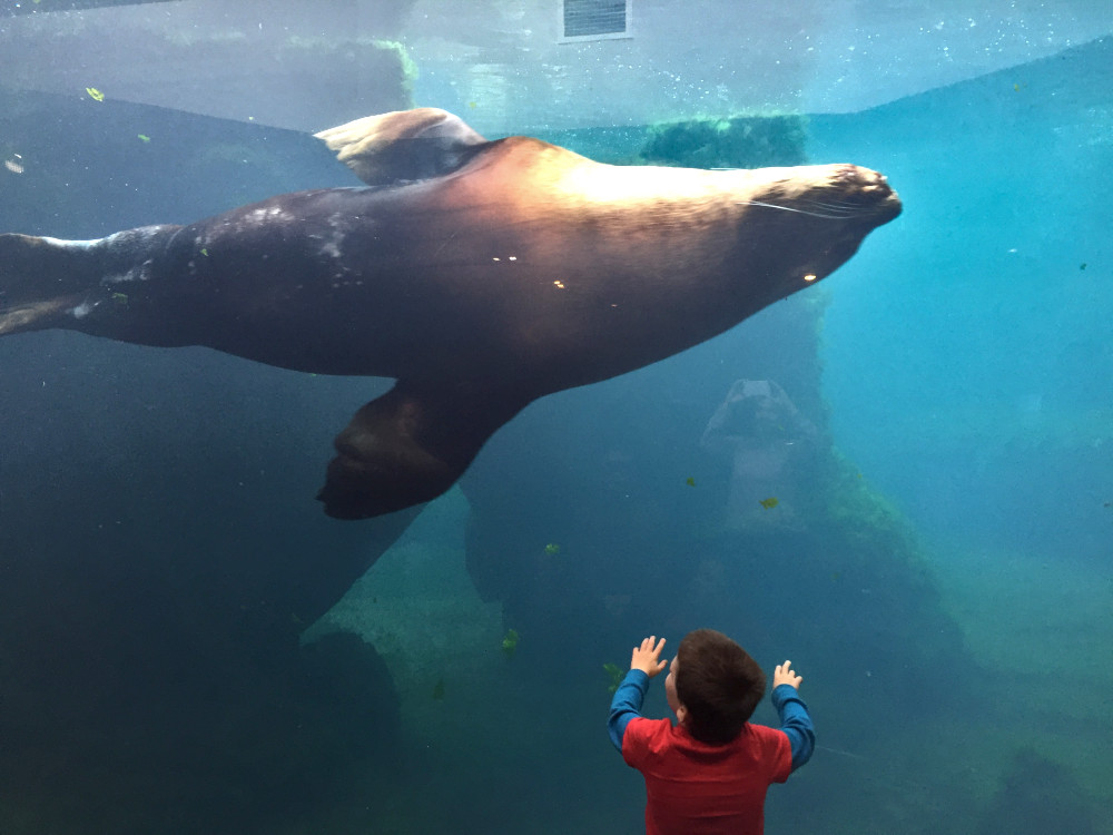 Sea lion at the Alaska SeaLife Center | Things to do in Seward Alaska