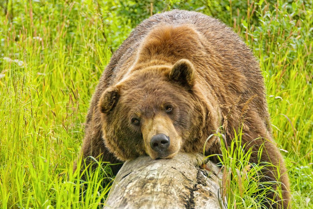 Brown bear at the Alaska Zoo | Things to do in Anchorage Alaska
