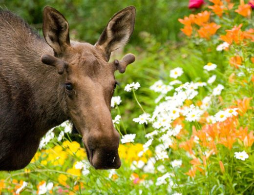 Moose | Things to do in Anchorage Alaska